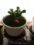 """Christmas"" cactus--in March."