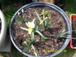 My first daffodil.