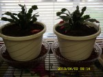 Christmas Cactus--in April.