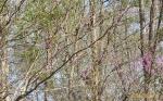 Bluebird in Red Bud tree