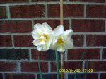Two daffodil
