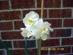 Three daffodils