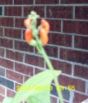 Not yet open, Scarlet Runner Bean bloom