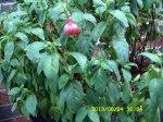 Fuchsia ready to bloom