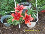Asian Lily (I think)