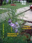 Gladiolus to be transplanted