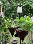 Nasturtiums in hanging baskets