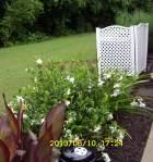 Gardenia bush