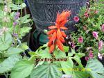 Bonfire Salvia