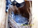 Baby Bluebird on the nest