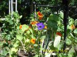 Petunia in Nasturtium planter
