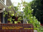 View of Scarlet Runner Beans from neighbor's patio