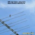 Mama Bluebird on the antenna.