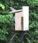 Papa Bluebird feeding the babies.