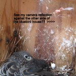 Baby Bluebirds in the nest at noon.
