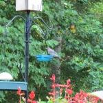 Recently fledged baby Bluebird.