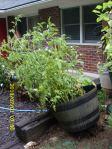 Tilting tomato planter
