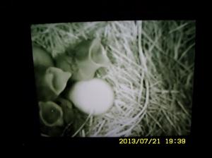 Three hungry baby Bluebirds.