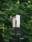 Mama Bluebird outside the nest.