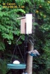 Cropped copy of four baby Bluebirds on the feeder