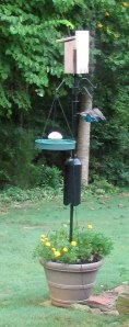Four baby Bluebirds on the feeder