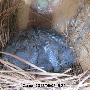 Four baby Bluebirds in the nest.