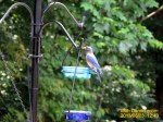 Papa Bluebird