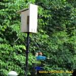 Bluebirds on the feeder