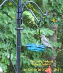 Recently fledged baby Bluebird