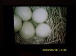 Five little Bluebird eggs in the nest