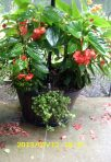 Begonias in planter base