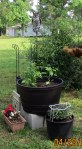 Guarding the tomato plant
