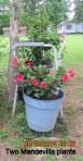 Mandevilla  is blooming