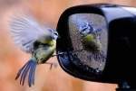 Bird looking in car mirror