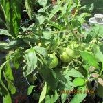Green tomatoes (1)