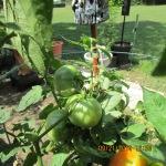 Green tomatoes (2)