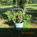 Mandevilla in Sept
