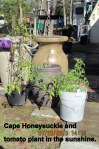 Honeysuckle and tomato plant