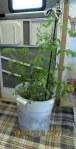 Tomato plant--indoors