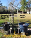 Relocated Mandevilla plants