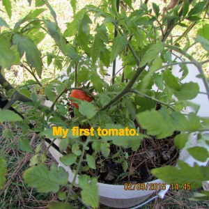 My first tomato