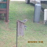 Bluebirds guarding birdhouse