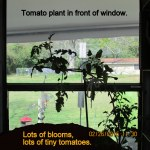 Tomato plant in front of window