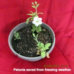 Petunia saved from freezing weather