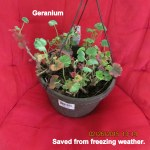 Geranium saved from freezing weather