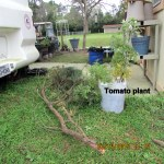 Tomato plant uprighted