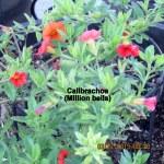 Calibrachoa