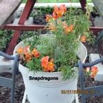 Snapdragons (2)
