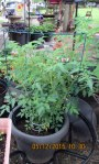 The other tomato plant