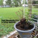 Dead Mandevilla removed